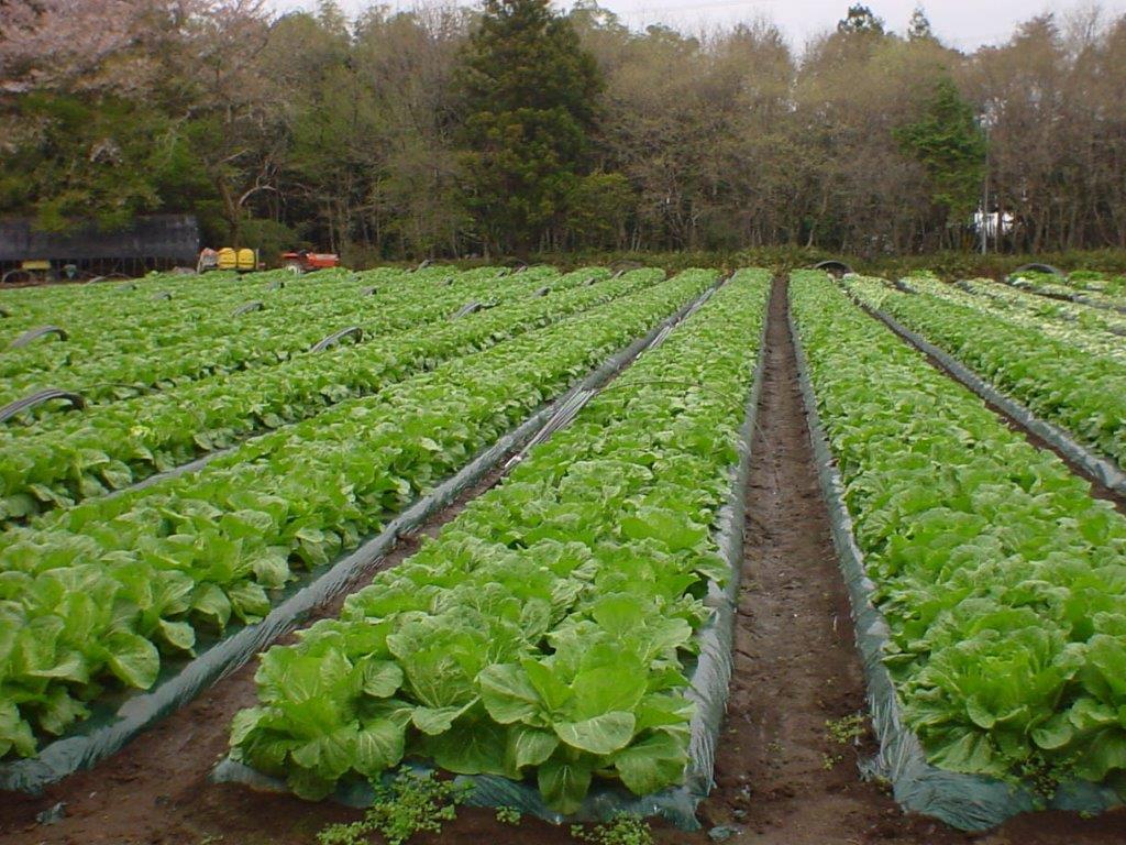 長野 契約農家さんの白菜畑3